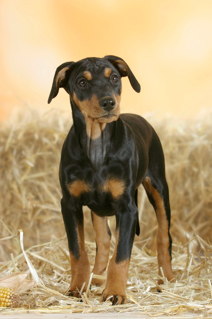 German Pinscher Dogs And Puppies
