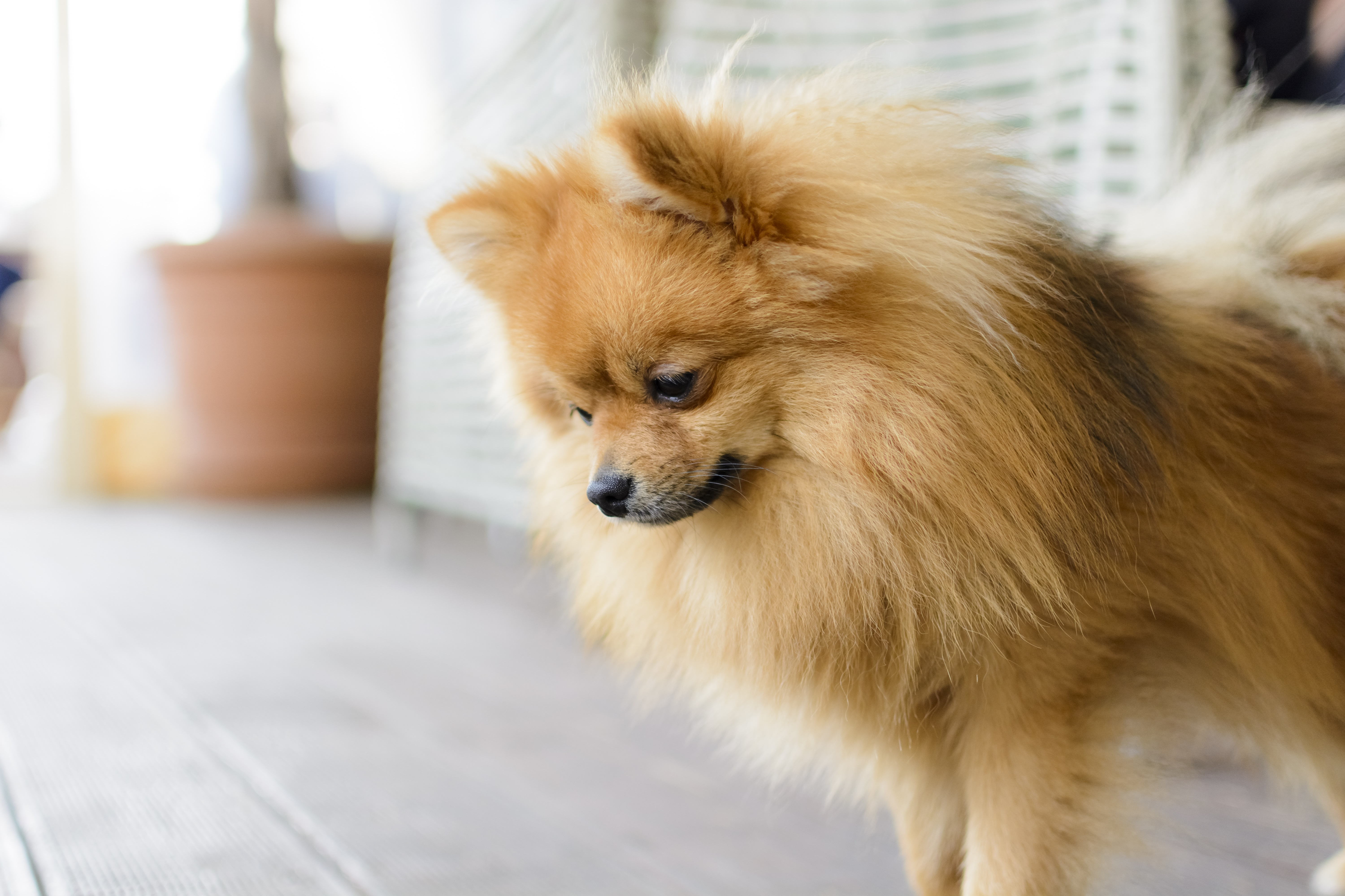 German Spitz Dog Breed Pictures