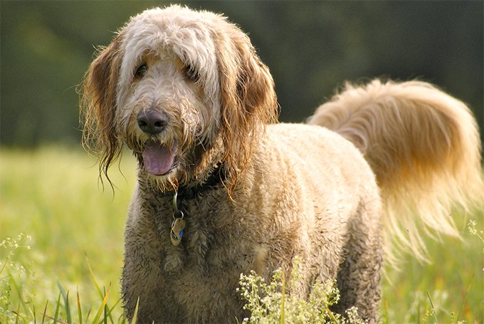 Goldendoodle Dog Breed Picture