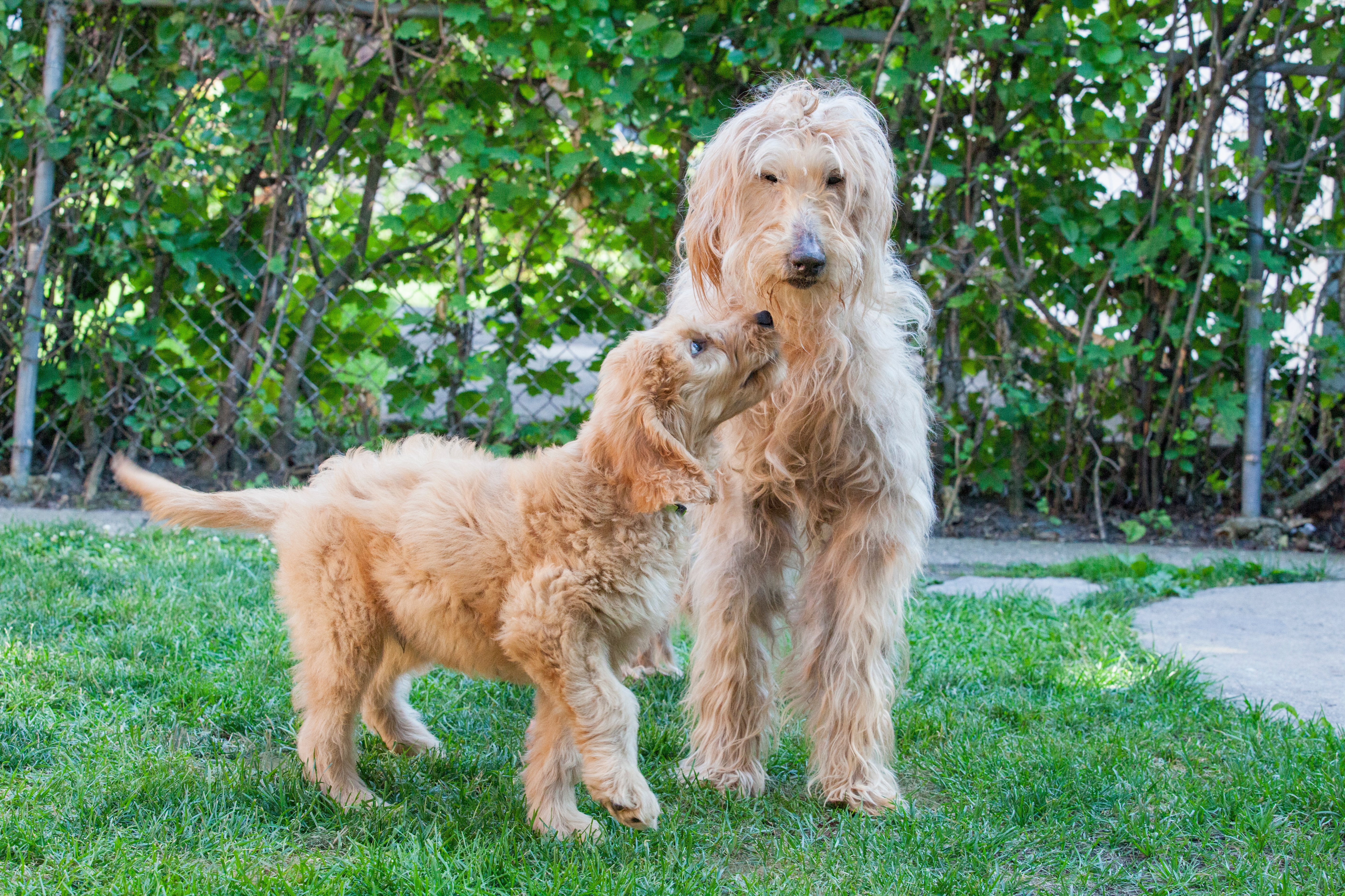 Playing Goldenddoodle Puppies