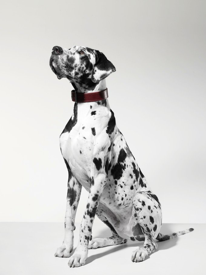 Great Dane Dogs And Puppies