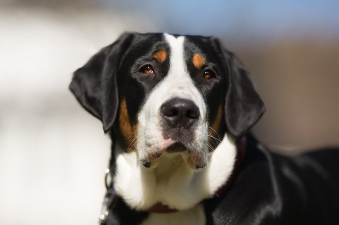 Greater Swiss Mountain Dogs And Puppies