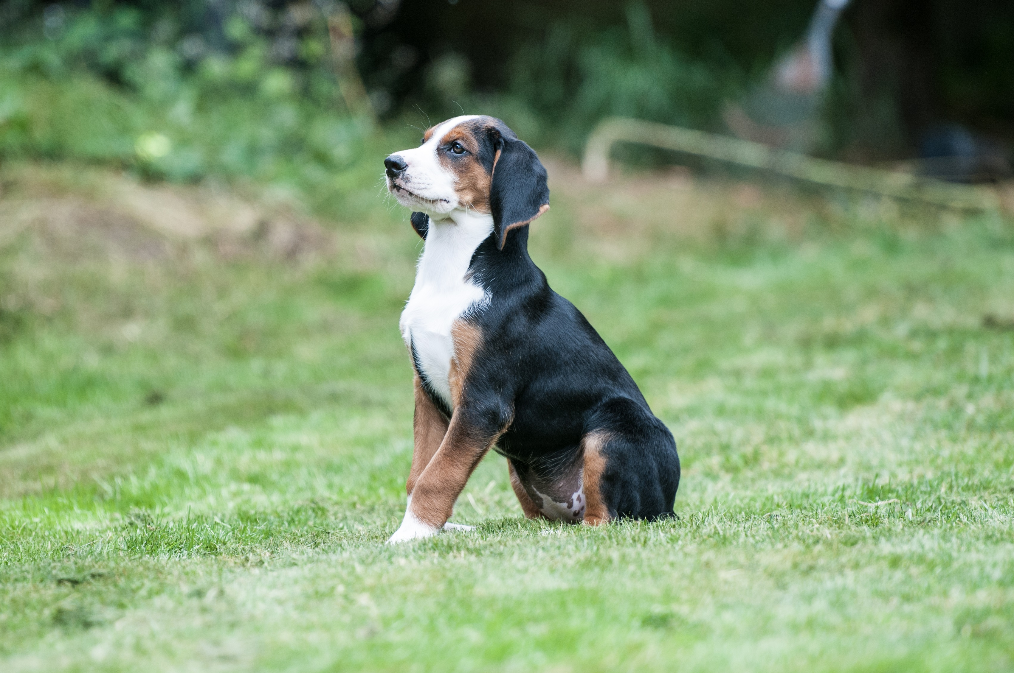 Hamiltonstovare Dog Breed Pictures