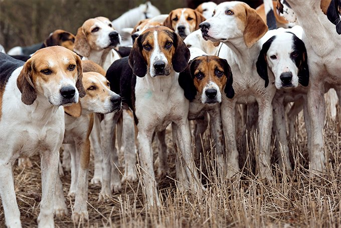 Harrier Dog Breed Picture
