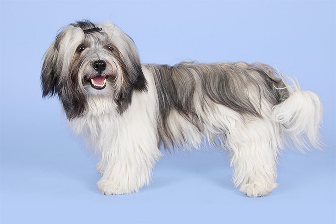 Havanese Dog Breed Picture