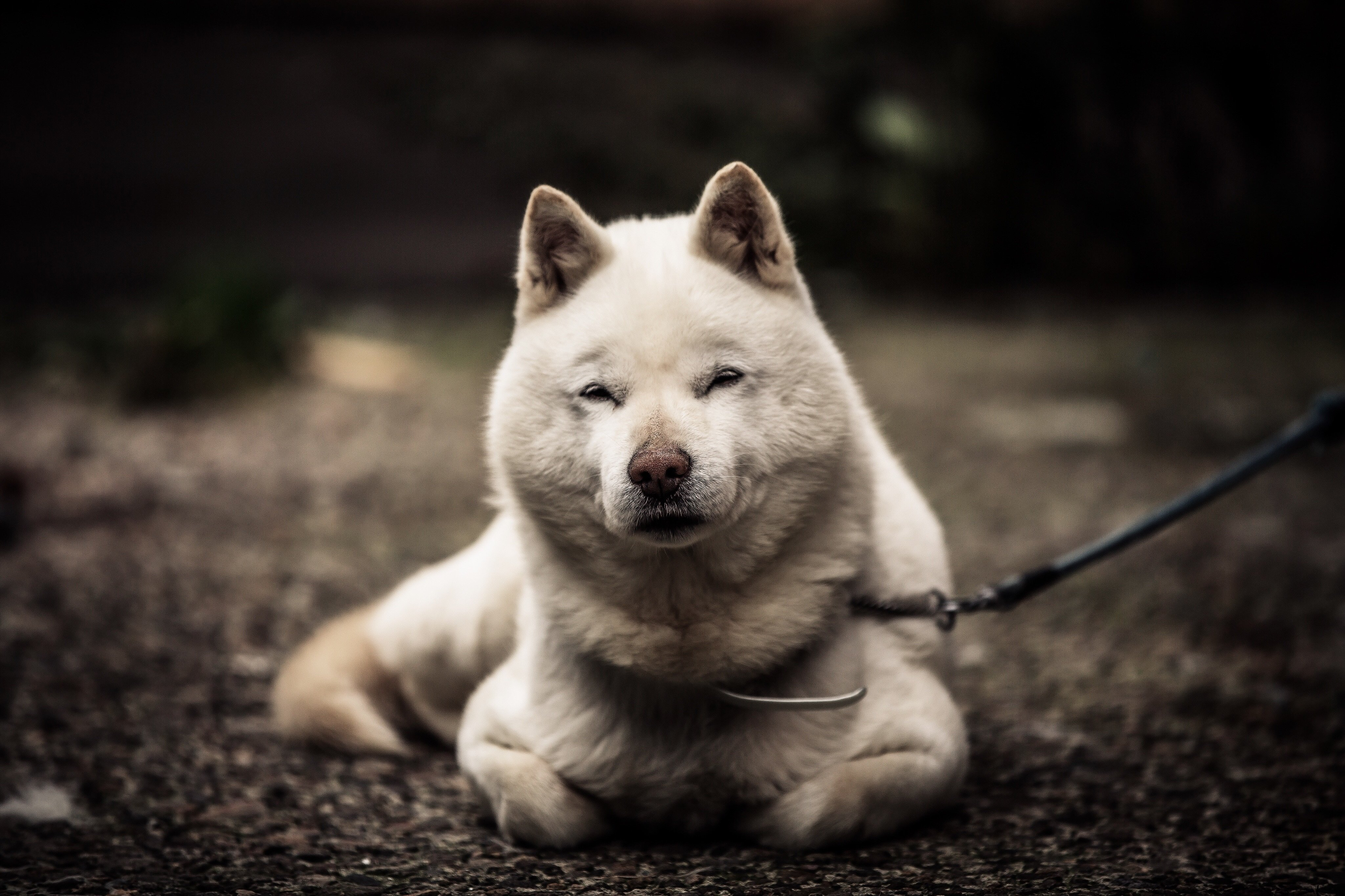 Hokkaido Dog Breed Pictures