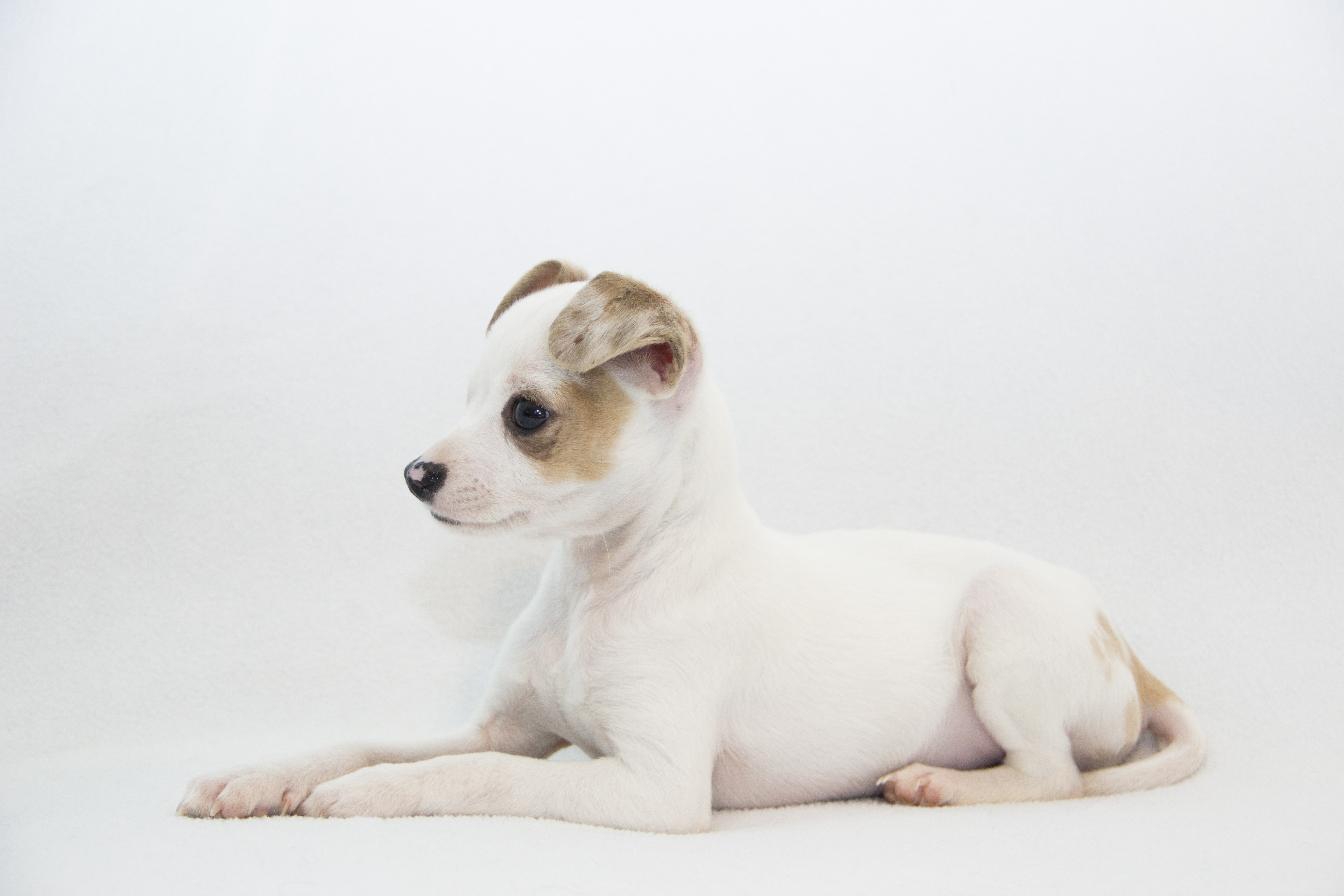 Jack Chi Mixed Dog Breed Pictures