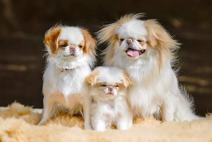 Japanese Chin Dog Breed Picture