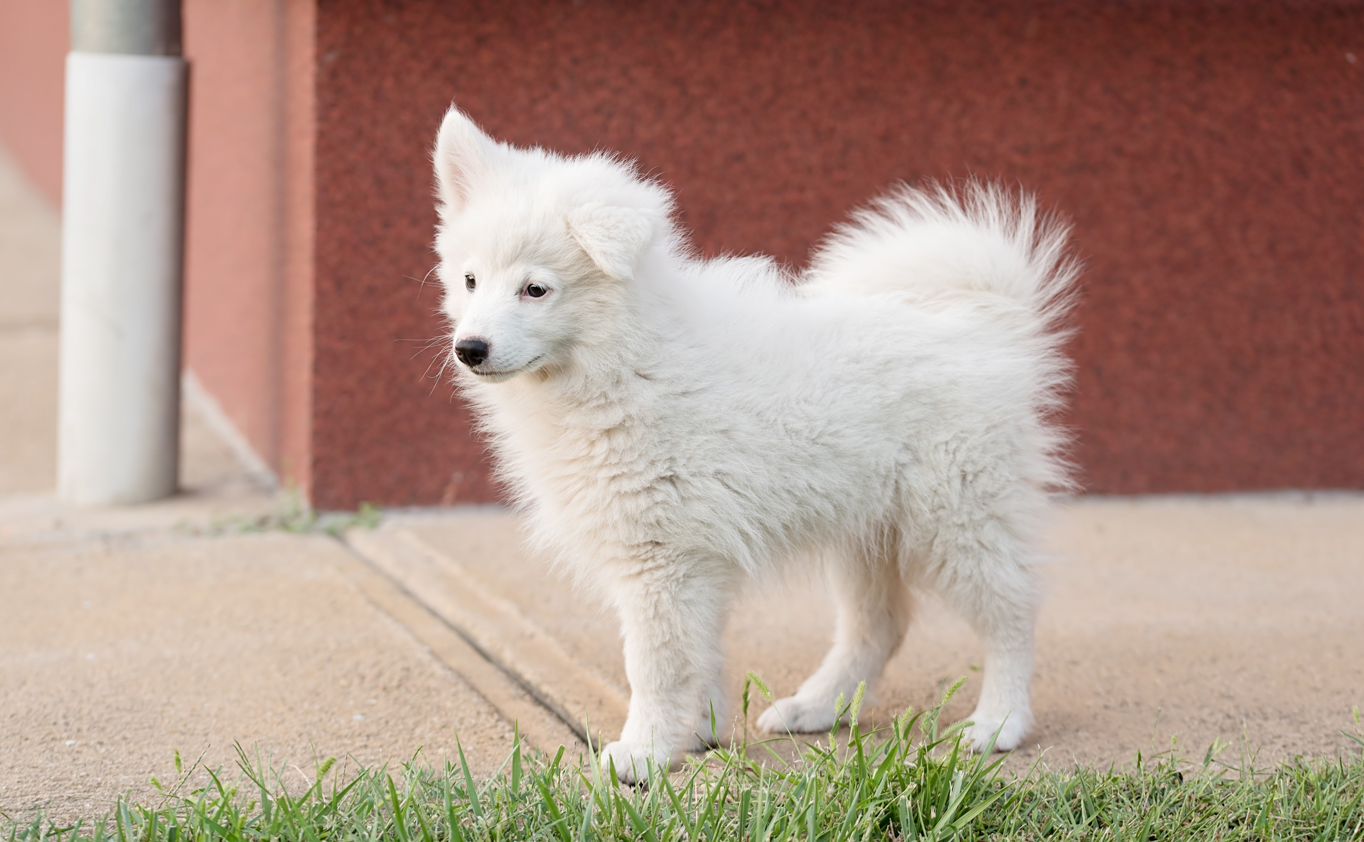 Japanese Spitz Dog Breed Pictures
