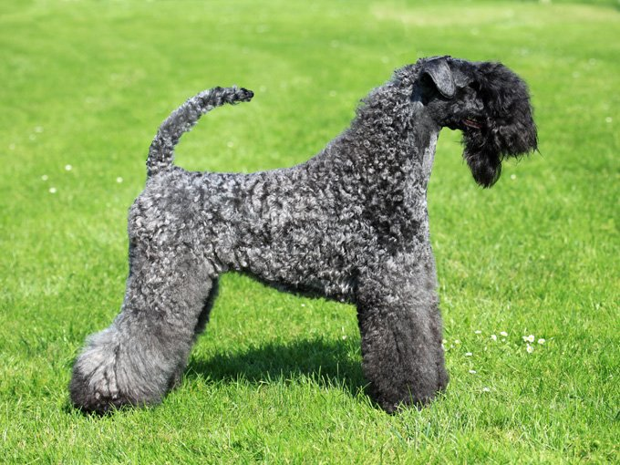 Kerry Blue Terrier Dogs And Puppies