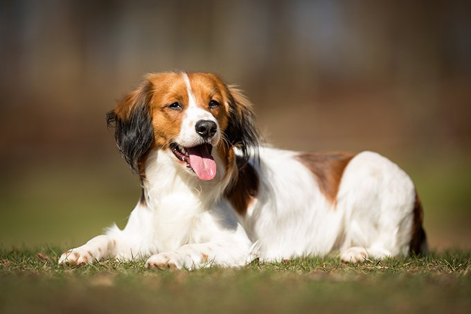 Kooikerhondje Dog Breed Picture