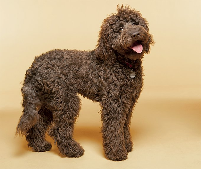 Labradoodle Dog Breed Picture