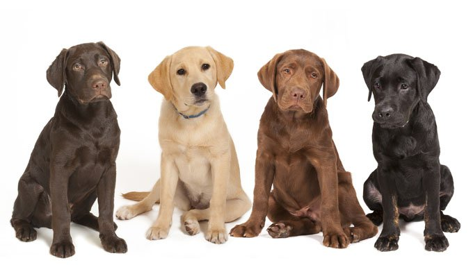 Labrador Retriever Dog Breed Pictures