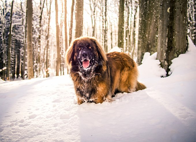Leonberger Dog Breed Picture