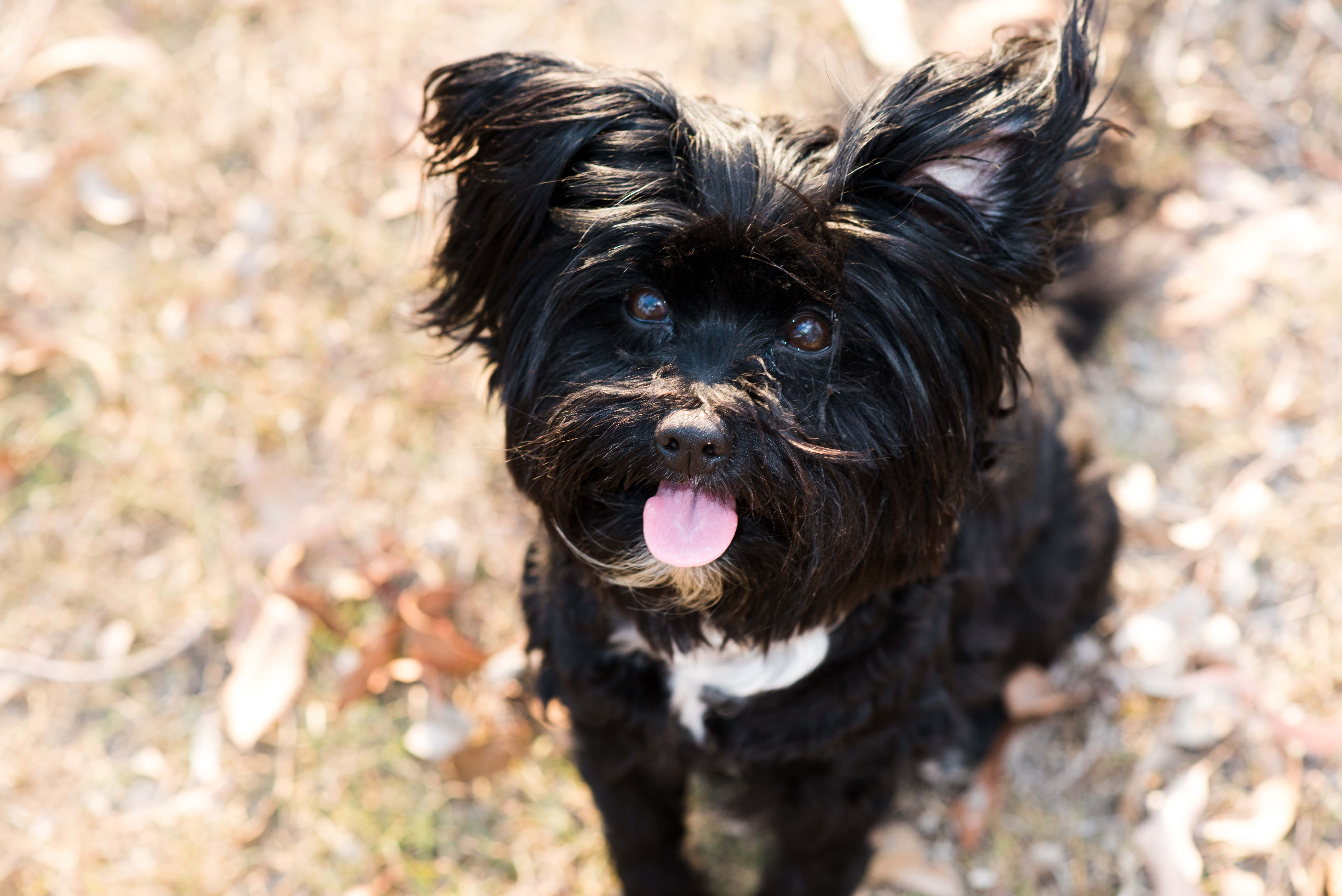Lhasapoo Mixed Dog Breed Pictures