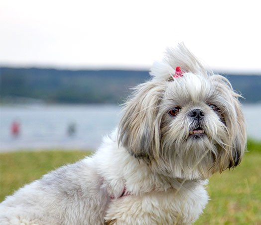 Maltese Dog Breed Picture