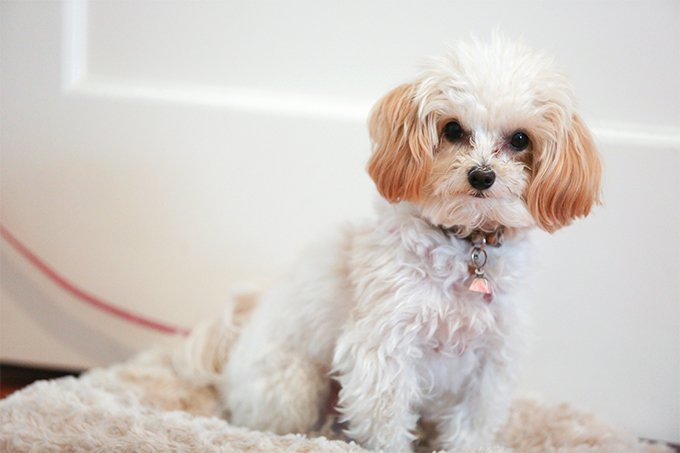 Maltipoo Dog Breed Picture