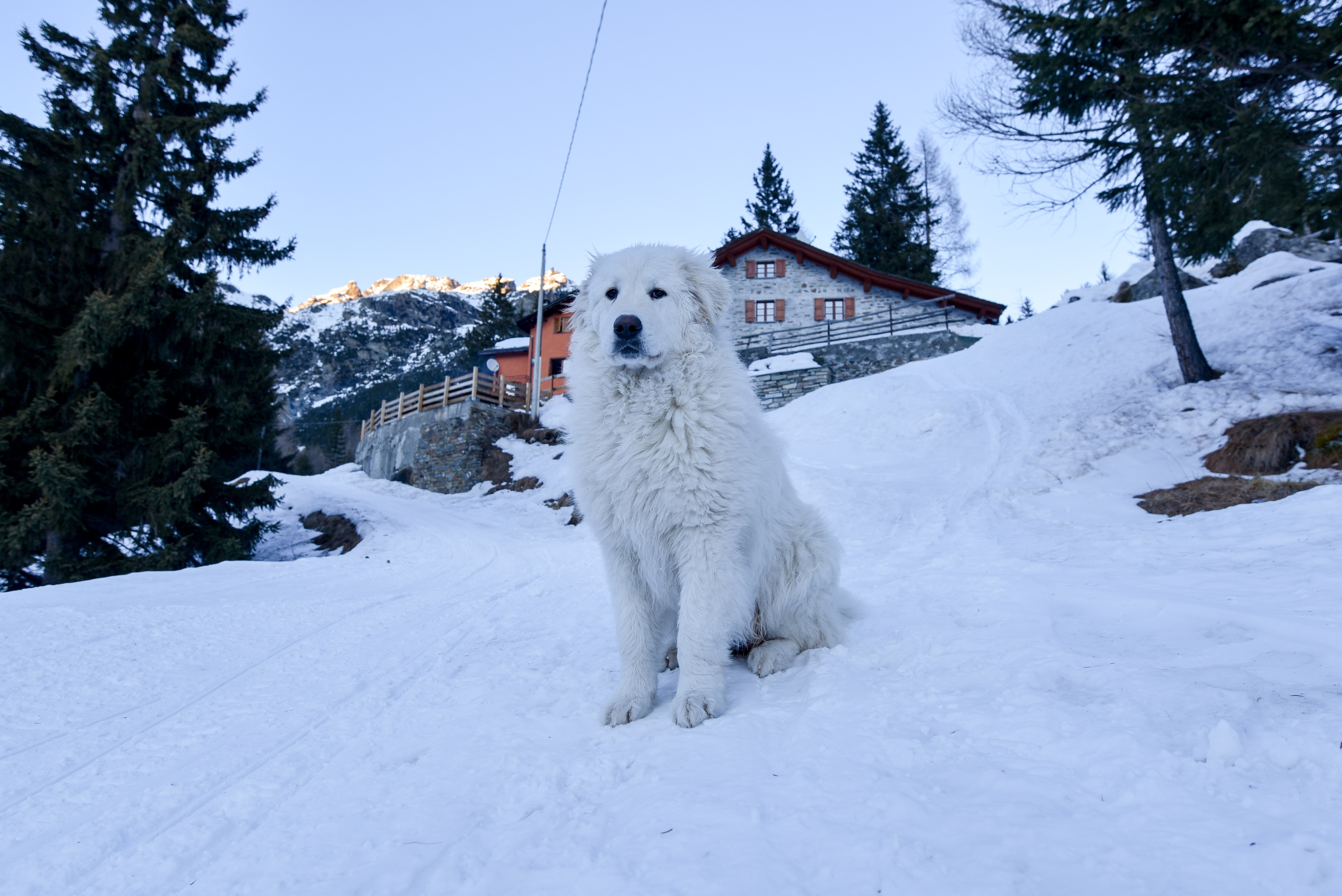 Maremma Sheepdog Breed Pictures
