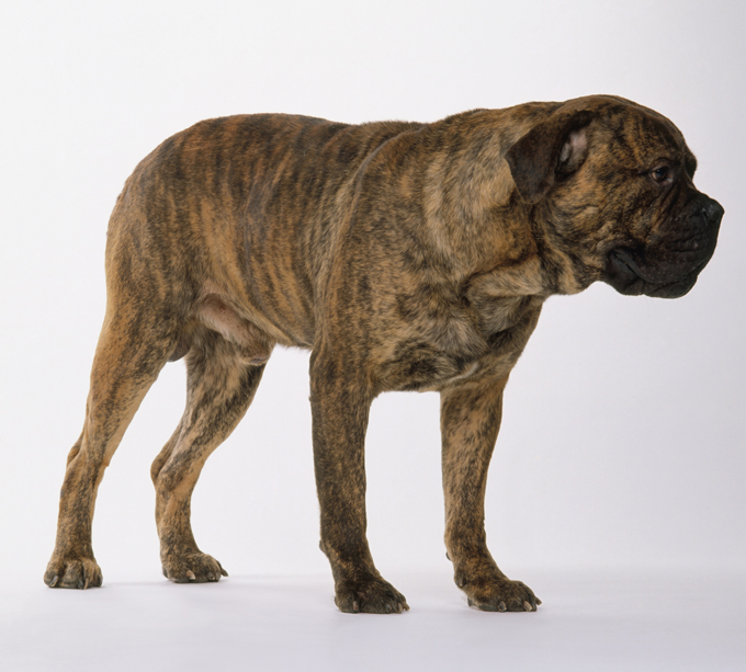 Mastiff Dogs And Puppies