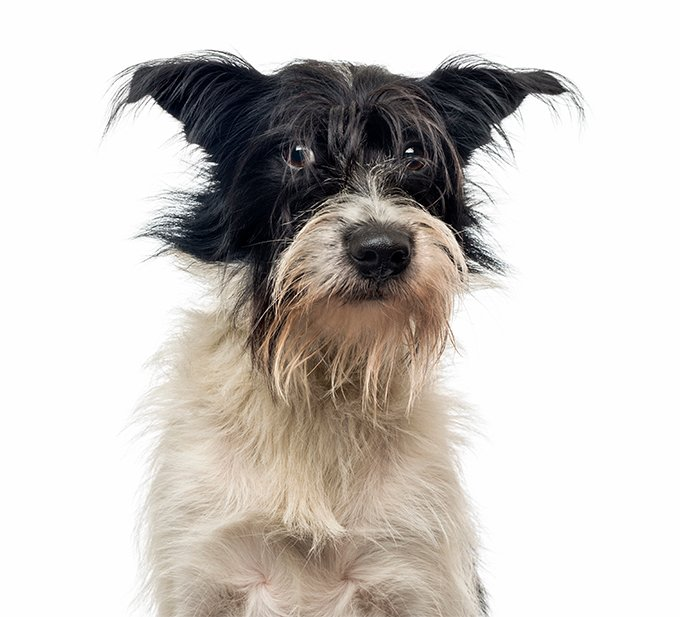 Mutt Dog Breed Picture