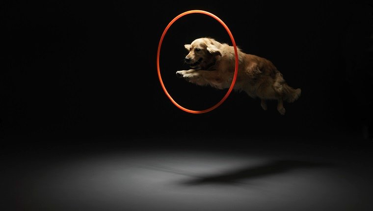Circus Dogs And The Golden Retriever's Trainable Nature