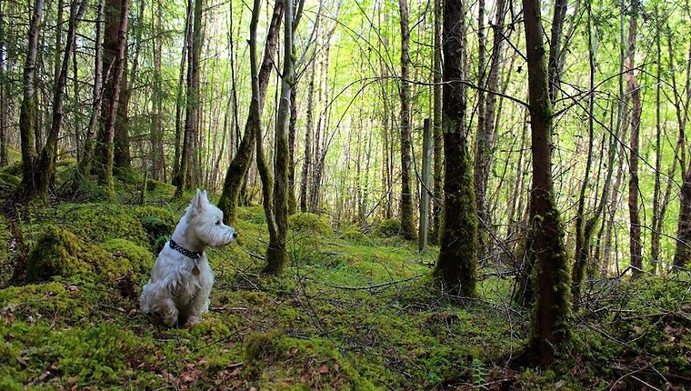 Hunting Tragedy And The West Highland White Terrier's Coat