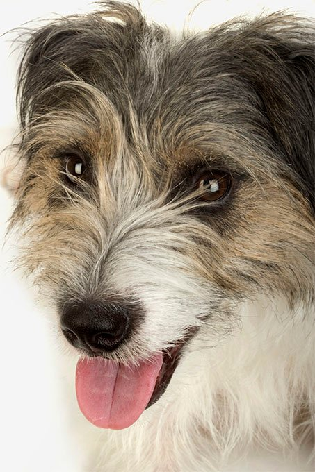 Norfolk Terrier Dog Breed Picture