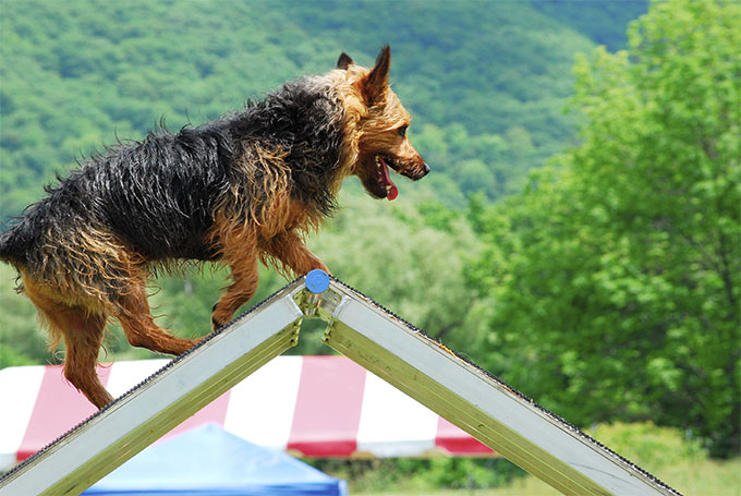 Norwich Terrier Dog Breed Picture