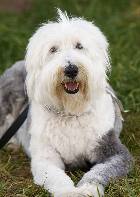 Old English Sheepdog Dog Breed Picture