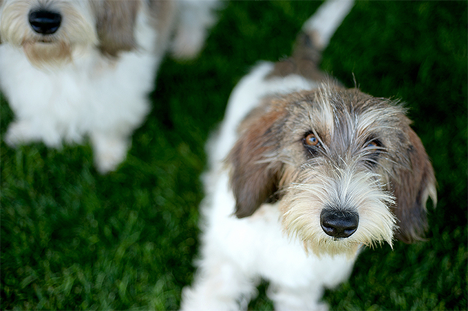 Petit Basset Griffon Vendeen Dog Breed Picture