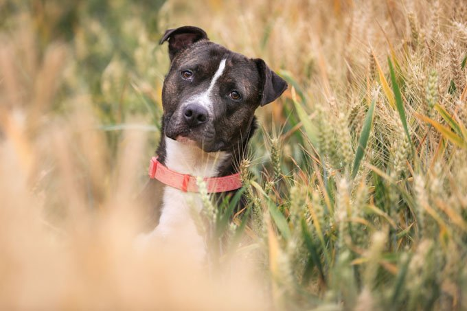 Pit Bull Dog Breed Pictures