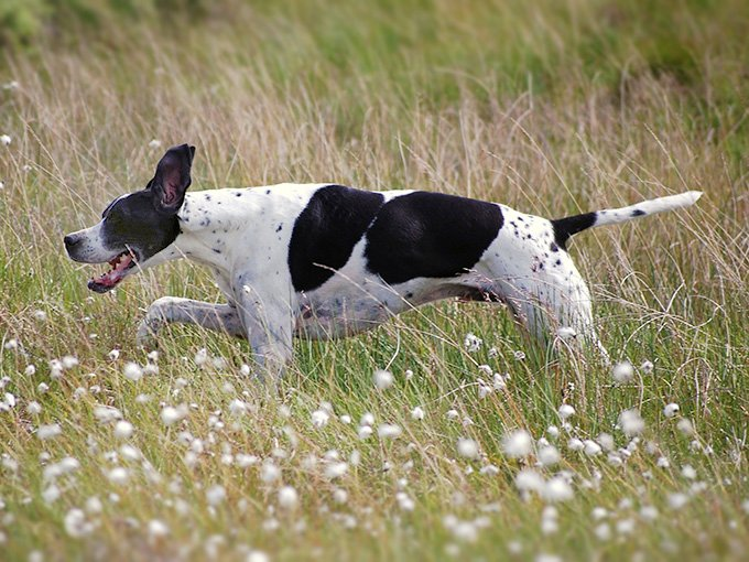 Pointer Dog Breed Picture
