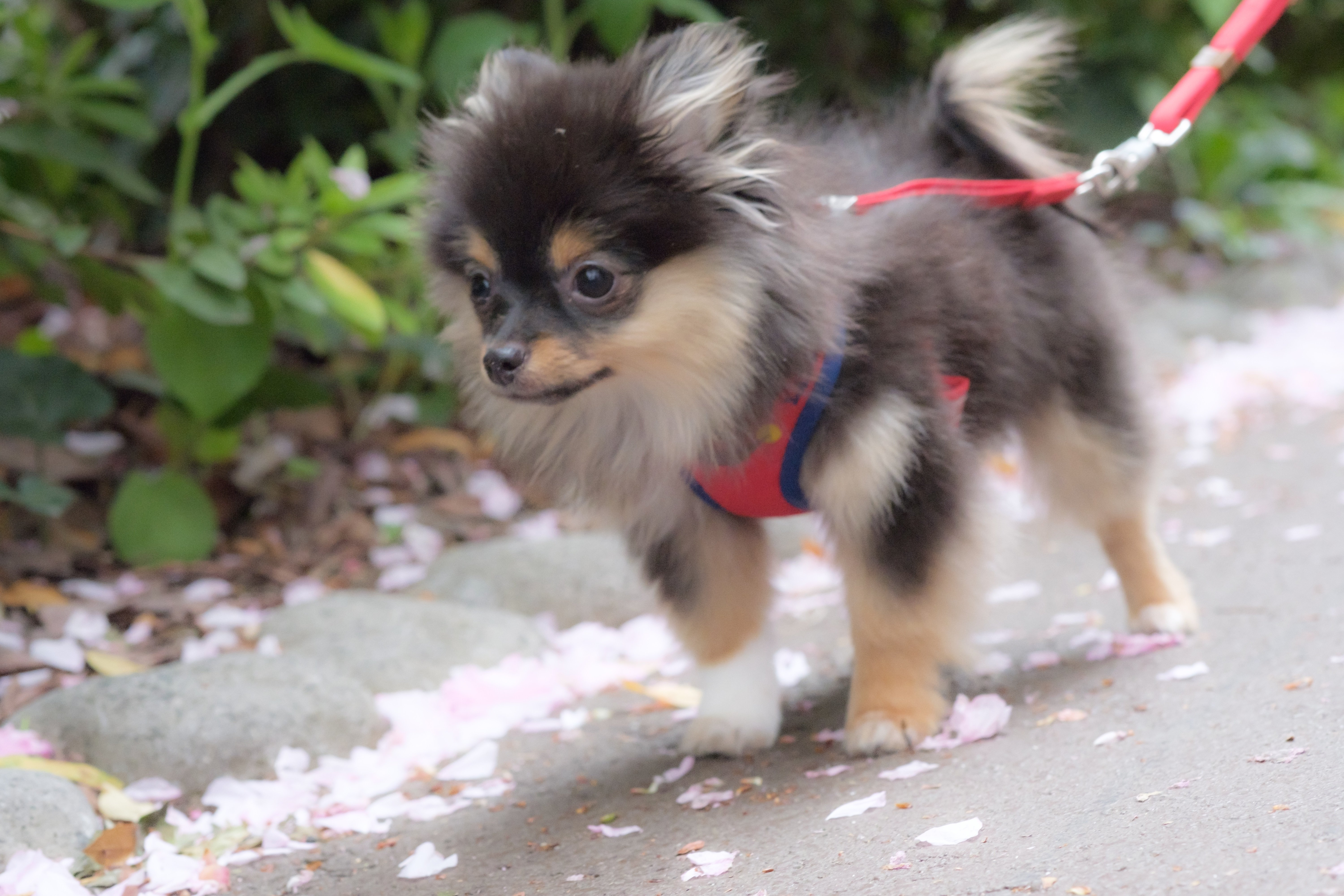 Pomchi Mixed Dog Breed Pictures