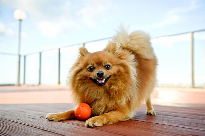 Pomeranian Dog Breed Picture