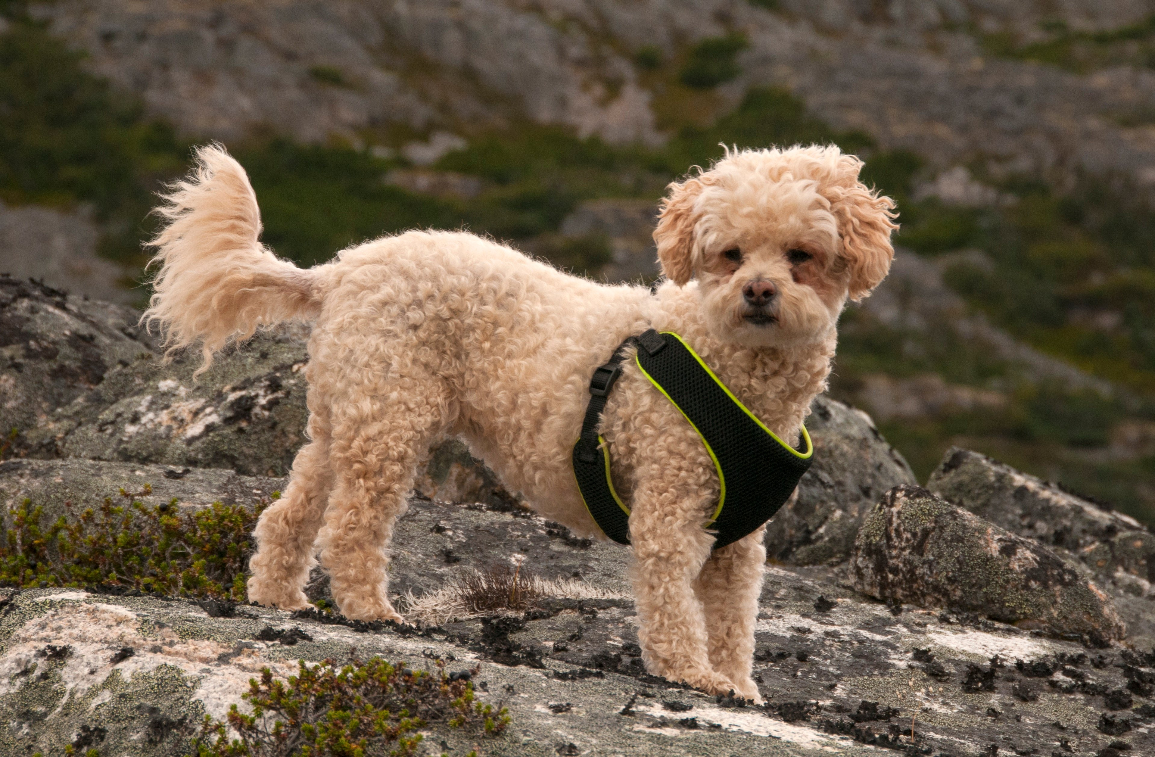 Poochon Mixed Dog Breed Pictures