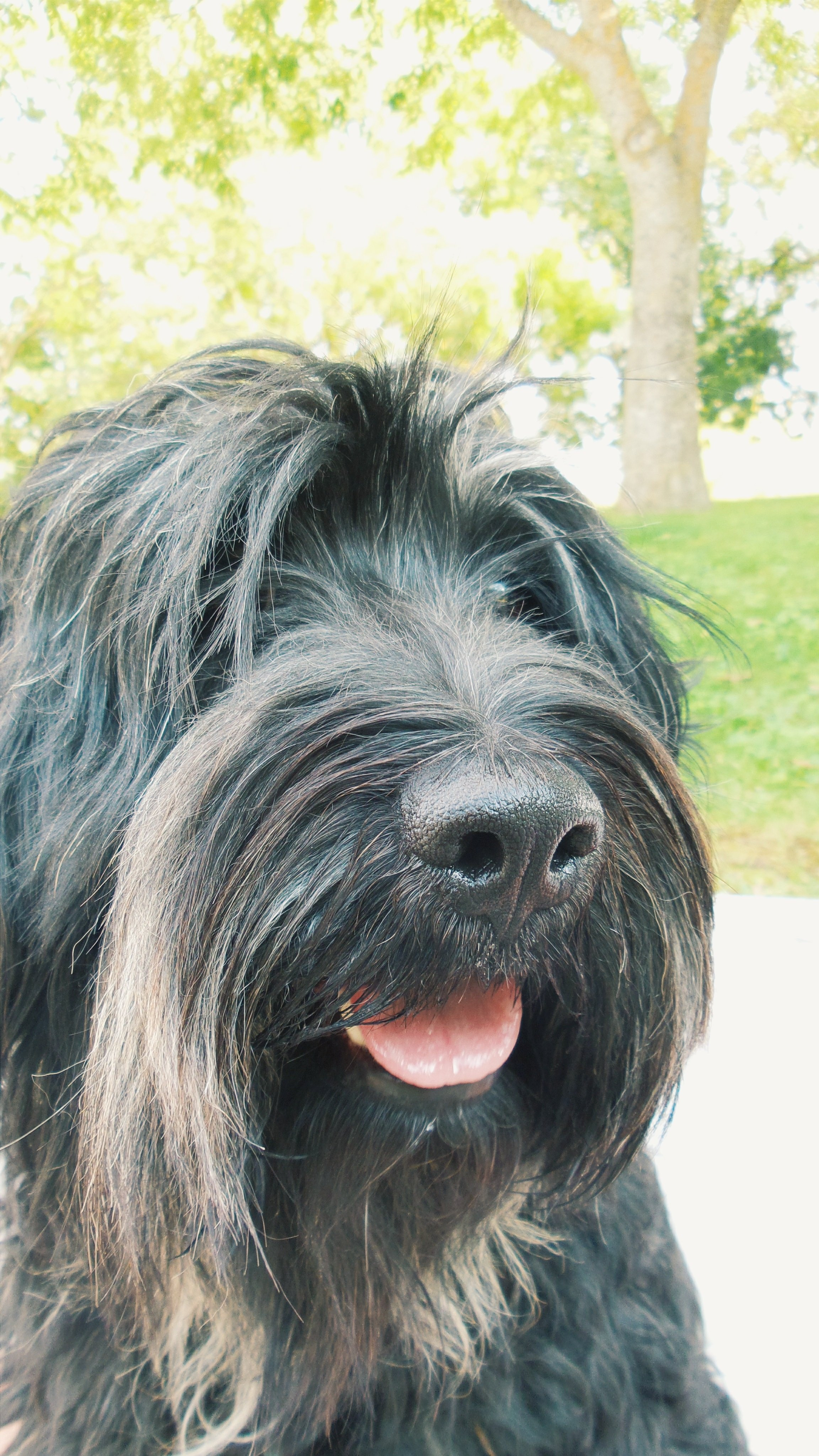 Portuguese Sheepdog Breed Pictures