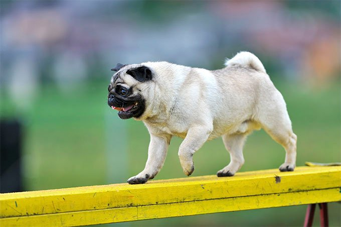 Pug Dog Breed Picture