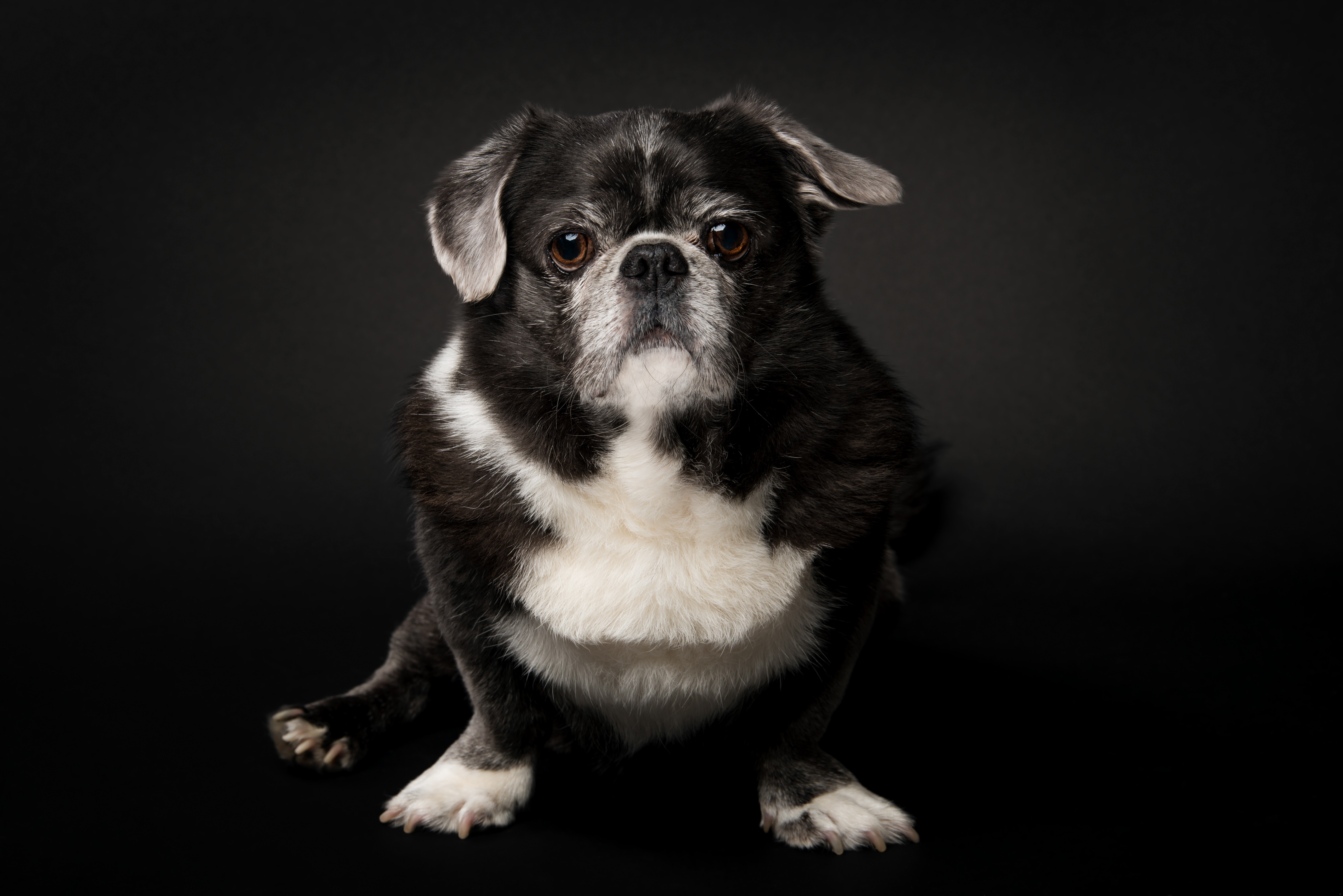 Puginese Mixed Dog Breed Pictures