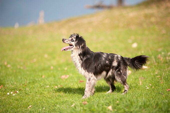 Pyrenean Shepherd Dog Breed Picture
