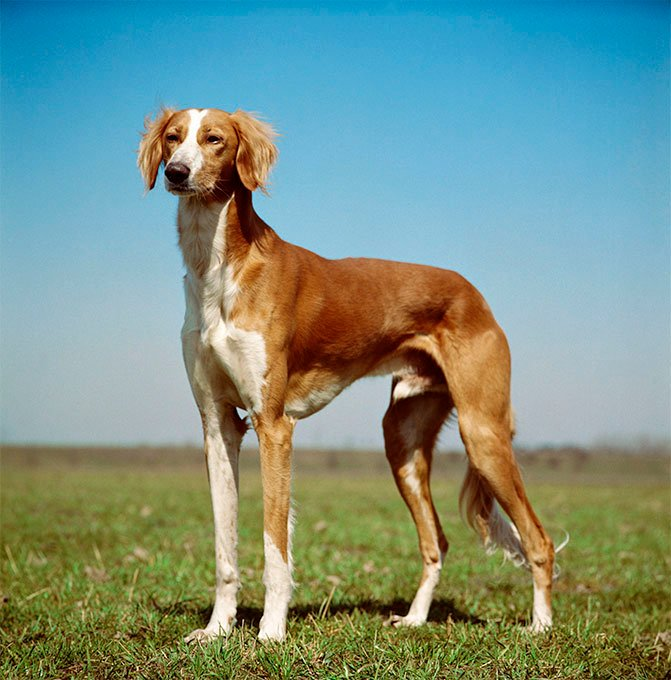 Saluki Dog Breed Picture