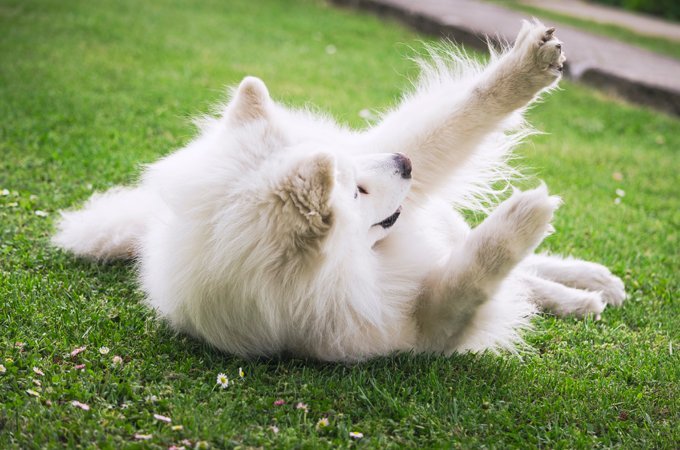 Samoyed Dogs And Puppies