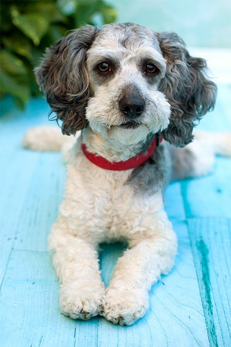 Schnoodle Dog Breed Picture