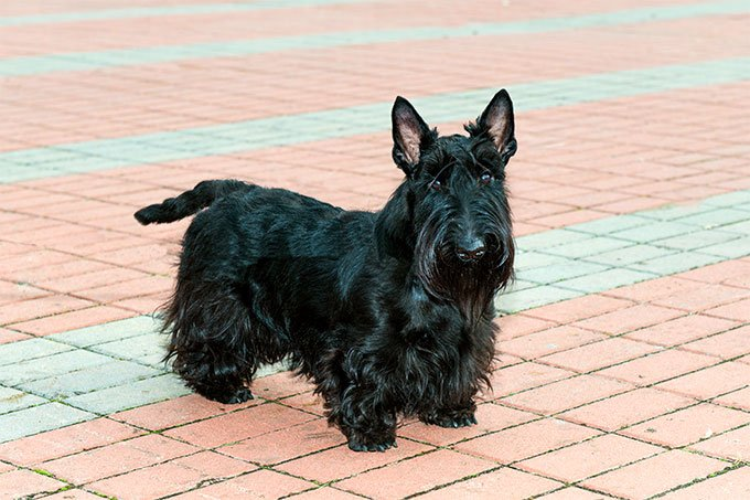 Scottish Terrier Dog Breed Information Pictures Characteristics Facts Dogtime