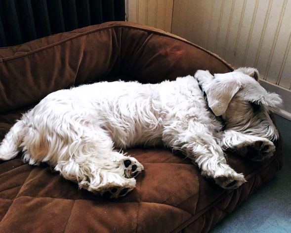 Sealyham Terrier Dog Breed Picture