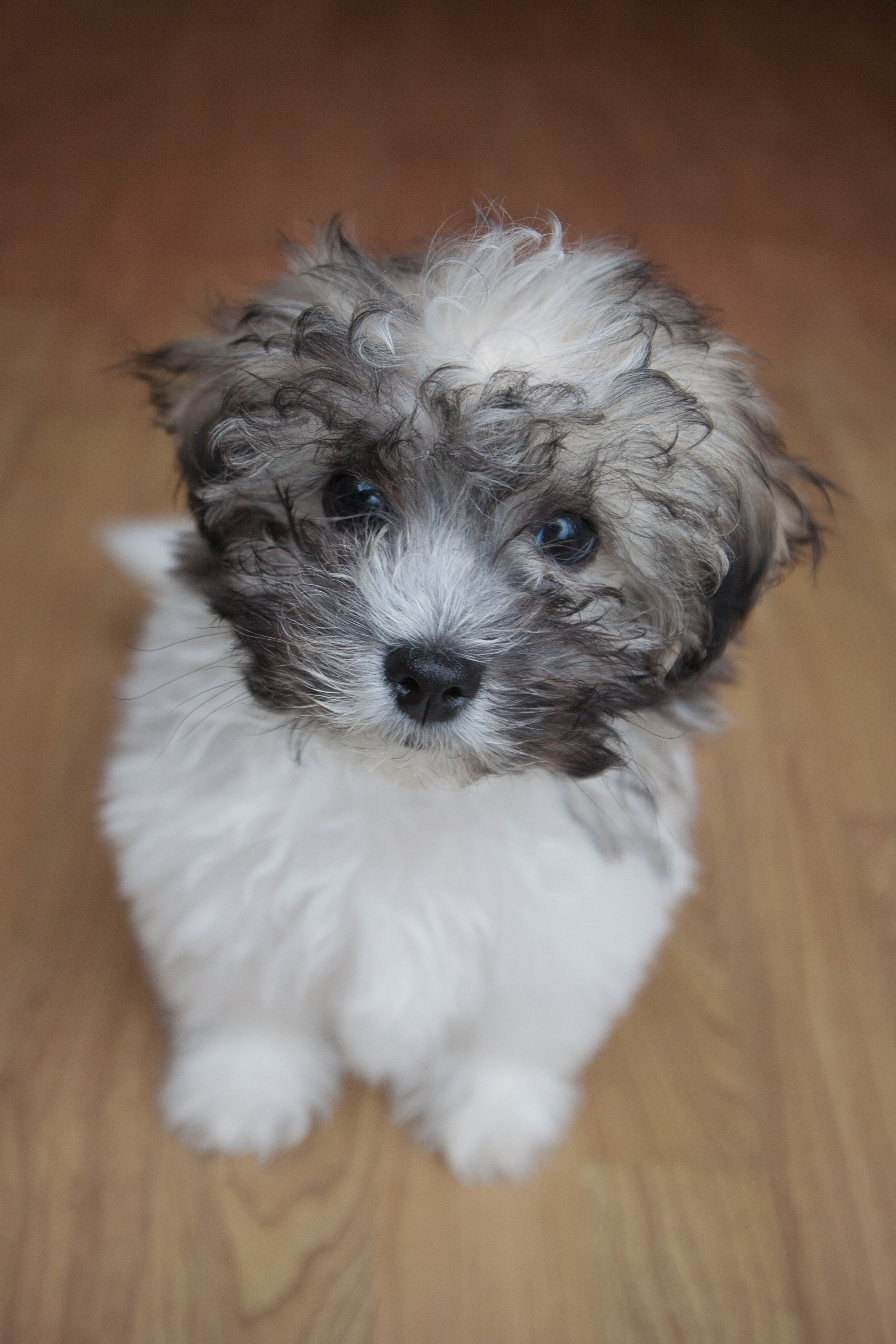 Shichon Mixed Dog Breed Pictures