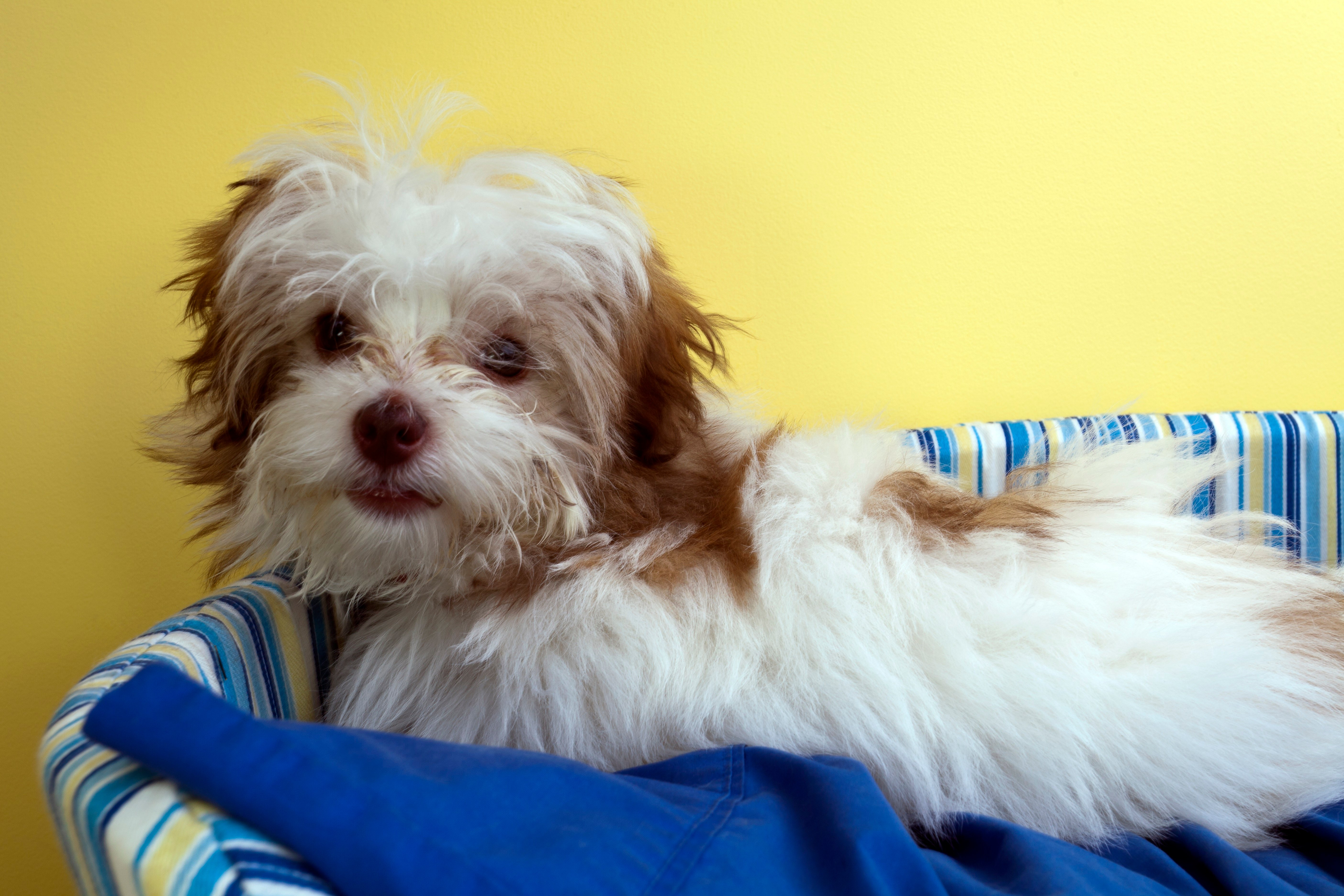 Shih-Poo Mixed Dog Breed Pictures