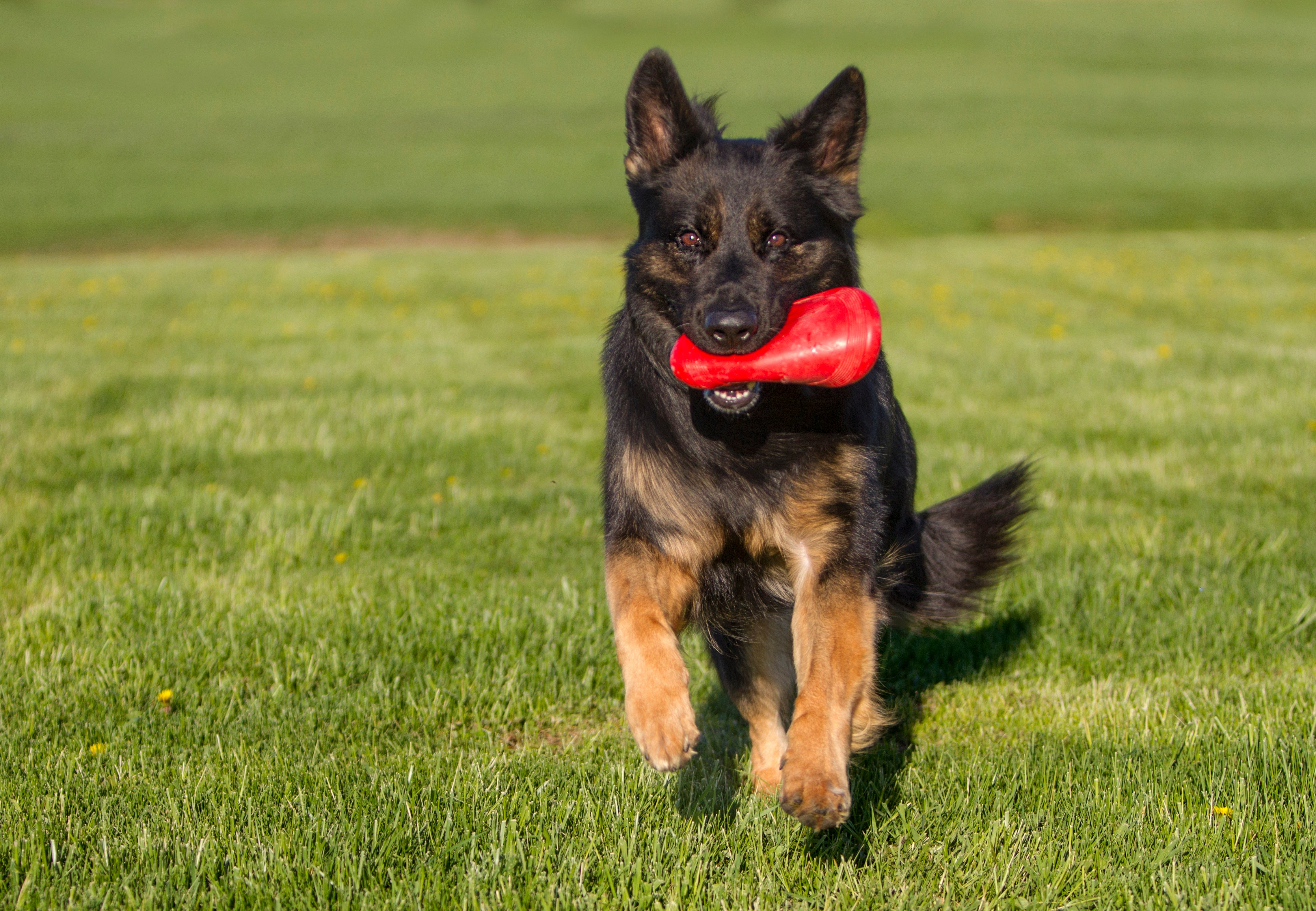 Shiloh Shepherd Dog Breed Pictures