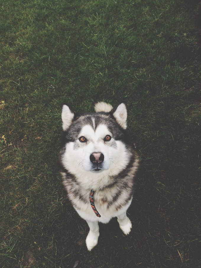 Siberian Husky Dog Breed Information, Pictures ...