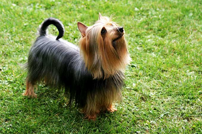 Silky Terrier Dog Breed Picture