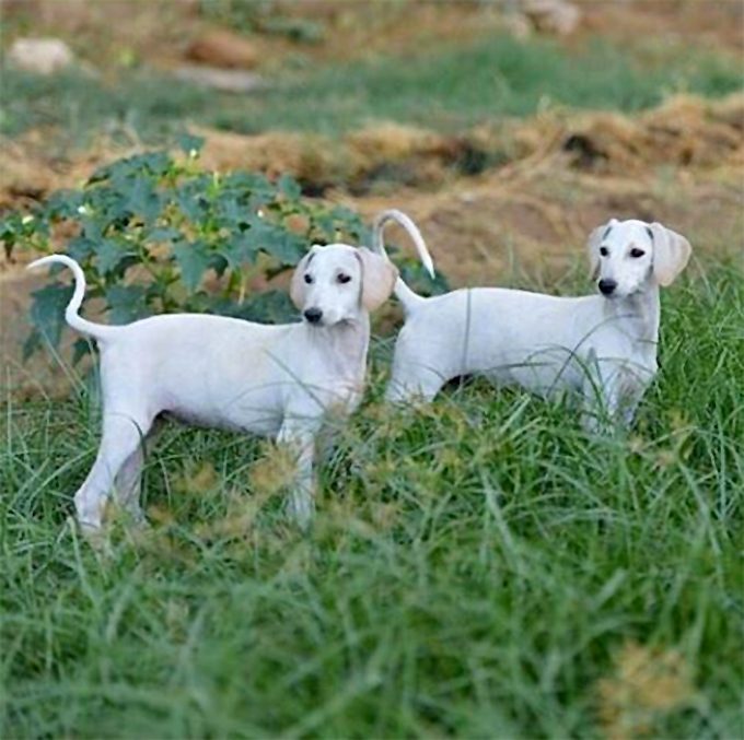 Sloughi Dog Breed Picture